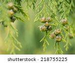 Fruits Of Chamaecyparis...
