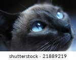 Close Up To Siamese Cat With...
