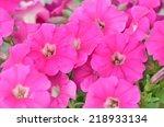 Pink Petunia Flowers  Close Up...