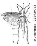 orthoptera  vintage engraved... | Shutterstock .eps vector #218939785