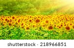 Beautiful Sunflowers Field In...