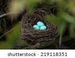 Robin's Nest With  Blue  Eggs