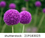 Couple Of The Allium Purple...