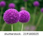 Couple Of The Allium Purple...