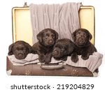 Small photo of chocolate puppies of Labrador Retriever amicably sitting in brown vintage leather suitcase