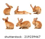 Stock photo brown bunny rabbits isolated on white background 219239467