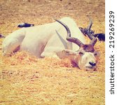 Small photo of Sleeping Addax in Israel, Instagram Effect