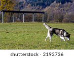 husky on a meadow  a hay drying ... | Shutterstock . vector #2192736