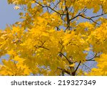 Branches Of Maple Tree With...