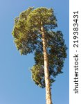 High Pine Trunks  Lush Crown...