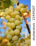 A beautiful ripe muscat grape in the wine yard - stock photo