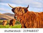 Highland Angus Cow Grazing...