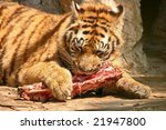 A Tiger Eating Meat In A Zoo