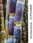 Close Up Sugar Cane Plants...