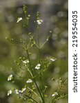 Small photo of Common Water-plantain - Alisma plantago-aquatica���