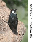 Small photo of Acorn Woodpecker (Melanerpes formicivorus) on a tree