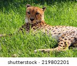 Small photo of Male Asiatic Cheetah (Acinonyx jubatus venaticus) resting on the ground