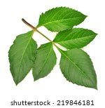 branch with leaves dahlia... | Shutterstock . vector #219846181
