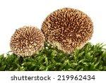 Spiny Puffball Mushroom...