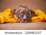Stock photo pet american pit bull terrier puppy cute 220082257