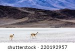 vicunas in the desert | Shutterstock . vector #220192957