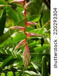 Heliconia Chartacea   Pink Cra...