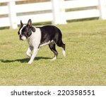 Small photo of A small, young, beautiful, black and white Boston Terrier dog walking on the grass, aka Boston Bull. Boston Terriers are highly intelligent and easily trainable.