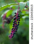 Small photo of American Pokeweed Berry