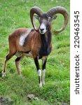 Mouflon In Natural Environment.