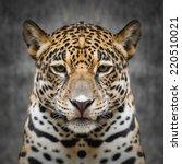 Jaguar Face Close Up