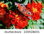 Peacock Butterfly  Vanessa Io ...