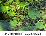 Small photo of Leaves of alpine pondweed and water-lily floating on the surface of a river streaming slowly