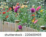 Garden With Dahlias