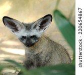 single bat eared fox in public... | Shutterstock . vector #220654867