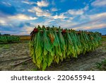 Tobacco Hangs From Racks On A...