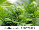 detail of a cannabis flowerhead ... | Shutterstock . vector #220694329