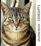 portrait of a domestic cat | Shutterstock . vector #220826971