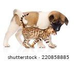 Japanese Akita Inu Puppy Dog...