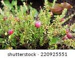 Small photo of Large cranberry, American cranberry and bearberry (Oxycoccus macrocarpus, Vaccinium macrocarpon)