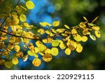 Background of aspen autumn leaves on a sunlit branch.  - stock photo