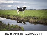 dutch holstein dairy cow...