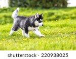 Puppy Husky Runs Across The...