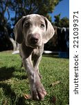 Stock photo a cute new born pure bred weimaraner puppy dog in sepia tone in walking motion on a beautiful 221039371