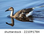 Swan Goose  Anser Cygnoides ...