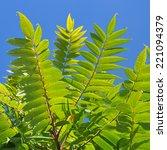 Small photo of Ailanto Branches, Tree of Heaven. Ailanthus altissima.