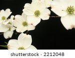 Cascade Of Dogwood Flowers
