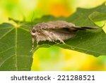 catocala elocata | Shutterstock . vector #221288521