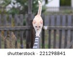 Ginger Cat Walking On Wooden...