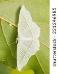 campaea margaritaria | Shutterstock . vector #221346985