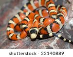 A small Arizona mountain kingsnake coiled on a large rock.